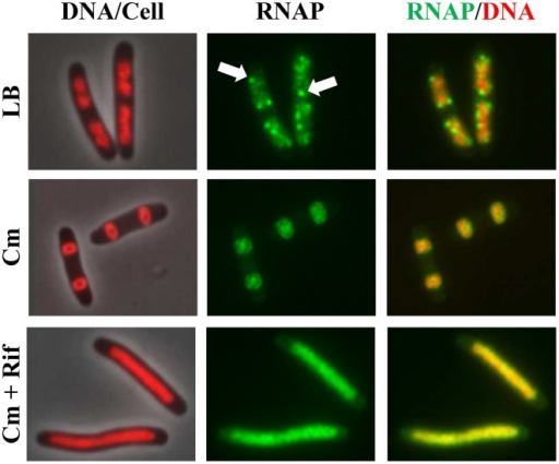 Activerrnexpression is required to condense the nucleoid in the presence of chloramphenicol. Images of overlay of DNA (nucleoid) and cell, RNAP, and overlay of RNAP and DNA are shown. DNA in the DNA/cell overlay is shown in red (left column), RNAP is shown in green (middle column), and the RNAP (green) and DNA (red) overlay is shown (right column). The panels on the top row show rapidly growing cells (rpoC-gfp) in LB, at 30°C, and RNAP foci are indicated by arrows; panels in the center row show cells treated with chloramphenicol (100 μg/ml) for 100 min; panels in the bottom row show cells sequentially treated with chloramphenicol (100 μg/ml, 10 min) and rifampicin (100 μg/ml, 90 min). Modified and adapted from Cabrera et al. (2009).