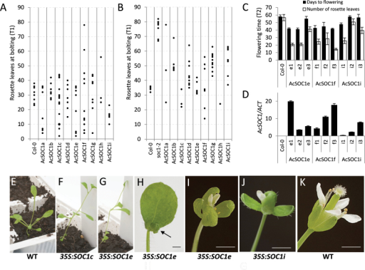 Constitutive expression of kiwifruit SOC1-like genes affects flowering in Arabidopsis. (A) Flowering time of primary transgenic (T1) Arabidopsis Col-0 plants grown in non-inductive short-day conditions. Flowering time was recorded as the number of rosette leaves when the primary inflorescence stems were 0.5cm long. Each dot represents one line. (B) Flowering time of T1 Arabidopsis soc1-2 plants grown in short-day conditions, recorded and presented as above. (C) Flowering time of hygromycin-resistant progeny (T2) of three independent T1 lines of transgenic Arabidopsis Col-0 plants grown in short-day conditions. (D) Transgene expression in T2 plants. (E) Normal rosette development of wild-type Arabidopsis Col-0. (F, G) Early bolting and small rosette leaves resulting from constitutive expression of AcSOC1 constructs. (H) Small first flower (arrow) in the AcSOC1e early flowering line (I, J) Abnormal flower development in lines expressing AcSOC1 genes. (H) Wild-type Arabidopsis Col-0 flower. Scale bars=1mm.