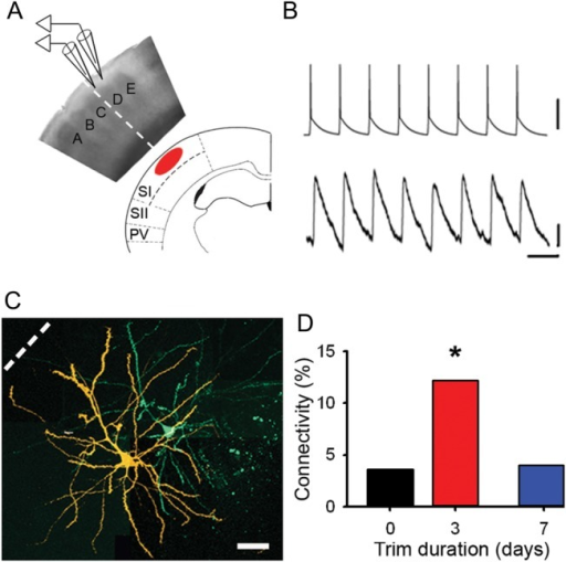 Local excitatory connectivity changes in concert with BOLD whisker representations. (A) Schematic showing orientation of a brain slice with respect to BOLD fMRI images. Electrophysiological recordings were made in L2/3. Dashed line indicates the boundary between spared C-row whiskers and deprived cortex. (B) Synaptically connected pyramidal neurons. Upper trace, train of action potentials in presynaptic neuron. Lower trace, evoked response in postsynaptic neuron. Scale bars: 50 mV (upper), 0.1 mV (lower); 50 ms. (C) Confocal reconstruction of the presynaptic (green) and postsynaptic (orange) pyramidal neurons. Scale bar, 50 μm. (D) Connectivity between deprived L2/3 pyramidal neurons in controls (black, 3.6%), after whisker trimming for 2–4 days (red, 12.0%) and after whisker trimming for 6–8 days (blue, 4.0%).