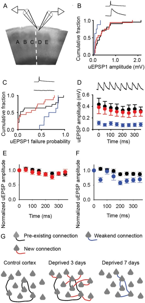 New excitatory connections in deprived cortex have similar properties to control connections. (A) Schematic of recordings from pairs of synaptically connected L2/3 pyramidal neurons. (B) Mean uEPSP amplitudes in control cortex (black) and deprived cortex after 2–4 days (red) or 6–8 days (blue) of whisker trimming (2- to 4-day trim, 0.38 ± 0.11 mV, n = 16; 6- to 8-day trim, 0.11 ± 0.03 mV, n = 8; control, 0.43 ± 0.11 mV, n = 21). Inset: presynaptic action potential, postsynaptic EPSP. (C) Failure rates of neurotransmission between pyramidal neurons after 2–4 days (red) and 6–8 days (blue) of whisker trimming (median [IQR]: 2- to 4-day trim, 0.23 [0.00–0.49], n = 16; 6- to 8-day trim, 0.74 [0.56–0.85], n = 8; control, 0.05 [0.02–0.79], n = 19). Inset: presynaptic action potential, no postsynaptic response. (D) uEPSP amplitudes during a 20-Hz stimulus train in control cortex (filled circles) or deprived cortex after 2–4 days (red) and 6–8 days (blue) of whisker trimming. Error bars, SEM. Inset: 20 Hz train of postsynaptic EPSPs. (E) Normalized uEPSP amplitudes of Pyr → Pyr connections during a 20-Hz train in deprived cortex after 2–4 days trimming (red, n = 16) and in control cortex (black, n = 21). Error bars, SEM. (F) Normalized uEPSP amplitudes of Pyr → Pyr connections during a 20-Hz train in deprived cortex after 6–8 days trimming (blue, n = 8) and in control cortex (black, n = 21). Error bars, SEM. (G) Schematic shows sparse local connectivity in control cortex prior to whisker trimming (left panel). Whisker trimming for 3 days induces a rapid 3-fold increase in local excitatory connectivity (middle panel; new connections, red). Connectivity returns to control levels following 7 days of whisker trimming (right panel; 7-day trim connections, blue).