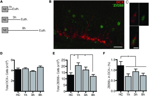 Novel environment (NE) exposure activates zif268 expression in mature dentate granule cells (DGCs) but suppresses zif268 expression in immature DGCs. (A) Mice were exposed to a novel environment for 10 min and euthanized 1 h (n = 7), 3 h (n = 7), or 8 h (n = 6) later. An additional group was euthanized immediately after being removed from the home cage (HC; n = 6). (B,C) Representative images of DCX and zif268 immunohistochemistry. Scale bars = 27 μm (B) and 9 μm (C). (D) The total number of DCX+ cells did not differ among experimental conditions (F(3,22) = 2.399, p = 0.095). (E) Total number of zif268+ cells in the granule cell layer (GCL) in HC and NE-exposed mice. NE exposure caused a significant increase in the number of DGCs expressing zif268 as compared to HC (F(3,22) = 3.961, p = 0.021). Zif268 expression peaked 1 h after NE exposure. (F) Percentage of DCX+ cells expressing zif268 in HC and NE-exposed mice. The number of DCX+ cells expressing zif268 was significantly reduced as compared to the HC group (t(24) = 2.520, p = 0.019) for at least 8 h after NE exposure. *p < 0.05.