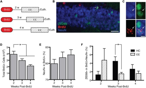 Behavior-induced zif268 suppression is specific to 2–3-week-old adult-born neurons. (A) We injected mice with BrdU 2 (n = 11), 3 (n = 12), or 4 weeks (n = 12) prior to euthanasia. Mice were euthanized 2 h after the start of enriched environment (EE) exposure (n = 17) or directly from the home cage (HC; n = 18). (B,C) Representative images of NeuN, BrdU, and zif268 immunohistochemistry. Scale bars = 27 μm (B) and 9 μm (C). (D) Number of BrdU+ cells in the subgranular zone (SGZ) and granule cell layer (GCL) as a function of time after the BrdU injections. The number of BrdU+ cells declined over time (F(2,32) = 7.665, p = 0.002; p's ≤ 0.042). (E) Percentage of BrdU+ cells expressing NeuN. The percentage of BrdU+ cells expressing NeuN did not vary significantly over time after the BrdU injections (F(2,32) = 0.755, p = 0.478). (F) Percentage of BrdU+ cells in SGZ and GCL expressing zif268. EE exposure significantly reduced the percentage of BrdU+ cells expressing zif268 relative to HC in the 3-week group (t(10) = 2.696, p = 0.022) but not in the 2- or 4-week groups (p's ≥ 0.225). *p < 0.05.