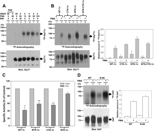 GlyT1 phosphorylation and glycine uptake.A) PAE cells stably expressing FH-GlyT1 were labeled with 50 μCi 32P-orthophosphate/ml followed by incubation with DMSO or 1 μM PMA for 0 to 120 min. Labeled GlyT1 was purified by tandem affinity chromatography and analyzed by autoradiography and Western blotting with GlyT1 antibodies. B) PAE cells expressing WT FH-GlyT1c, or the mutants NTK-1c, CTK-1c, and NTK-CTK-1c were labeled with 50 μCi 32P-orthophosphate/ml followed by incubation with DMSO or 1 μM PMA for 60 min and treated as described in A. The autoradiography and GlyT1 blots were subjected to densitometry analysis and the resulting values are expressed as mean ± SEM, n = 3, C) For uptake experiments, cells were incubated with vehicle (DMSO) or 1μM PMA for 30 min followed by a 10 min incubation with 400 μM of [3H]-Gly at 37°C. Values are represented as % of control DMSO for each cell line, calculated from the following average specific activities in nmol/min/mg of protein: WT-1c, 41.3+/-3; NTK-1c,51.2+/-6; CTK-1c 39.4+/-3: NTK-CTK-1c, 56.8+/- 4;. Error bars represent the mean ± SE, n = 3, *p = 0.002, **p <0.001. D) PAE cells expressing WT-DAT, and the mutant DAT were labeled with 50 μCi 32P-orthophosphate/ml followed by incubation with DMSO or 1 μM PMA for 60 min. Total DAT was purified by tandem affinity chromatography and analyzed by autoradiography and Western blotting with DAT antibodies. Values are expressed as mean + SEM, n = 3. A value of p<0.05 was obtained when each experimental sample was compared with untreated control cells via one-way analysis of variance (ANOVA) and Student's t-test.