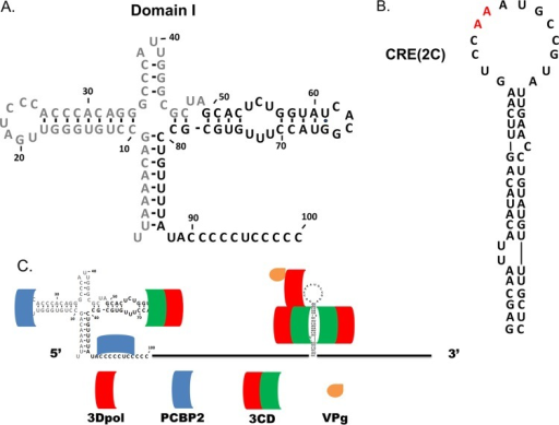 Domain I and CRE(2C) of CVB3 and the location of protein binding to these structures. (A) Domain I of CVB3, located at the 5′ terminus of the genome (the gray nucleotides indicate the sequence deleted in CVB3-TD50). (B) CRE(2C) of CVB3 located in the 2C protein-coding region from nucleotides 4365 to 4425. The two red adenines at the apex of the loop represent the experimentally determined template for the uridylylation of VPg. (C) During replication of the CVB3 genome, the viral protein 3CD and host-cell protein poly(rC) binding protein 2 (PCBP2) bind in the region of domain I and viral proteins 3CD and 3Dpol bind to CRE(2C) to mediate the uridylylation of VPg.