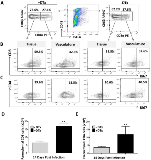 Discrimination between brain parenchyma-localized and vasculature-localized lymphocyte proliferation.Foxp3-DTR, MCMV-infected, DTx-treated and untreated mice at 14 dpi were injected intravenous with anti-CD8α-PE and anti-CD4-FITC mAb. Lymphocytes were isolated and stained ex-vivo for the anti-CD8 β-AF647 and anti-CD4-AF700 using different clones, as described in the methods. Plots are representative of two experiments using three animals per groups. (A) Contour plots show CD8+ T-cells in the vasculature that stained both for anti-CD8α-PE and anti-CD8β-AF647; while tissue lymphocytes were stained by anti-CD8β-AF647 alone in both DTx-treated and untreated groups. (B) Contour plots show proliferation of CD8+ T-cells both within the tissue and in the vasculature. C. Contour plots represent proliferation of CD4+ T-cells both in tissue and vasculature. (D) The number of parenchyma-localized CD8+ T-cells within MCMV-infected brains of animals with and without DTx treatment is shown. (E) The number of parenchymal CD4+ T-cells with and without DTx treatment is shown. **p < 0.001 DTx- versus DTx+ animals