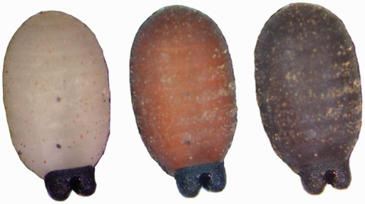Transformation of a third instar Glossina palpalis gambiensis larva into a puparium over the first 24 h after larviposition.