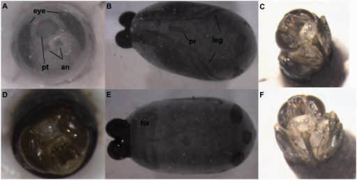 Images of fully developed, 30-d-old pupae under 1060 nm NIR light and corresponding photos of the dissected pharate adult. In image (A), the eyes are visible and are fully pigmented at this stage. The ptilinum and antennae are also very prominent. Image (B) is a ventral view, and shows wings on the sides of the pupae, the proboscis in the center, and the legs spreading to each side. The ptilinum is also visible, as is a small section of the eyes. Images (C), (D), and (F) show the same pupae with the top of the pupa removed so that the structures are visible. Image (C) and (F) show the legs and proboscis visible in image (B) under NIR, and image (D) shows the eyes, ptilinum, and antennae visible under NIR in image (A). Image (E) shows the dorsal view, with the eyes, ptilinum, and hairs visible on the body. an, antennae; pt, ptilinum; pr, proboscis; ha, hair.