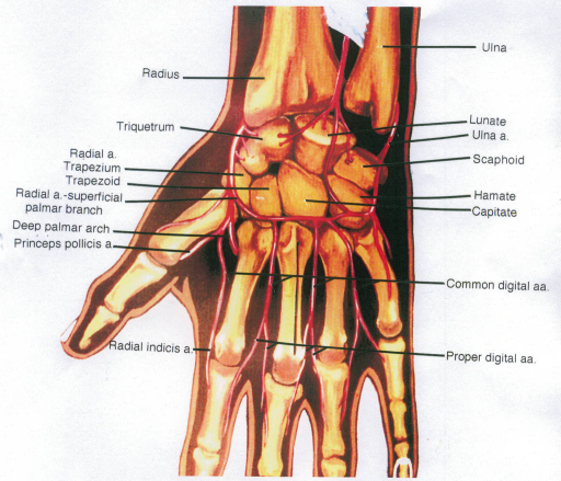 radius; triquetrum; radial artery; trapezium; trapezoid; radial artery; deep palmar arch; princeps pollicis artery; radial indicis artery; ulna; lunate; ulnar artery; scaphoid; hamate; capitate; common digital arteries; proper digital arteries