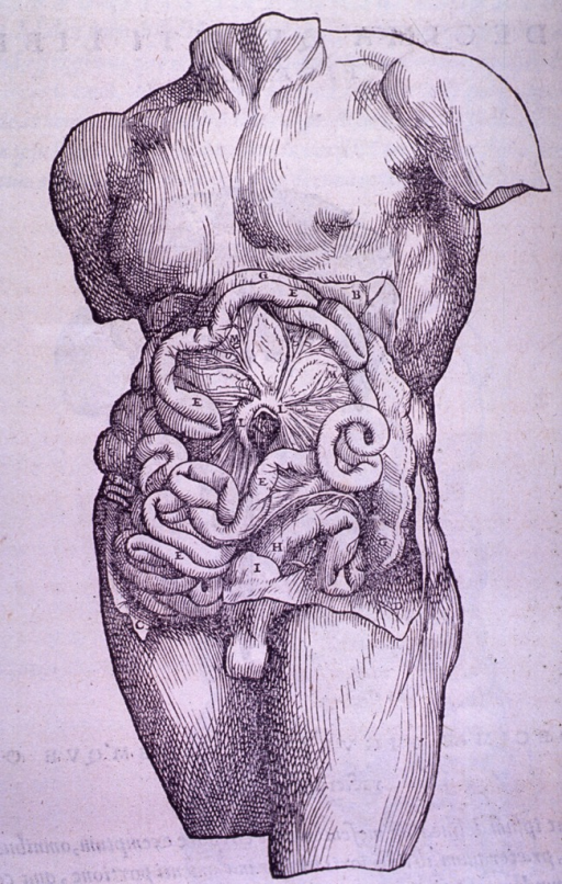 <p>Abdominal cavity exposed to show mesentery and intestines.</p>