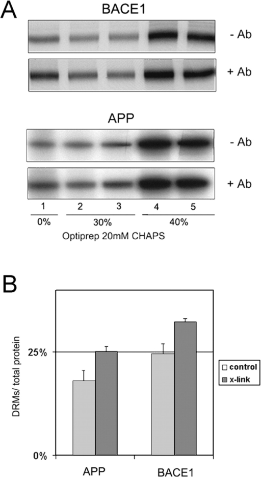 Effect of antibody cross-linking on association of BACE1A-CFP and YFP-swAPP to DRMs. 10 h after adenovirus infection to express BACE1A-CFP or YFP-swAPP, the cells were labeled for 2 h with [35S]methionine and chased for 2 h in the presence of antibody KG77 (anti-FP) or antibody 7523 (anti-BACE1). The cells were subsequently lysed in 20 mM CHAPS/TNE at 4°C. (A) After flotation in an OptiPrep step gradient, BACE1A-CFP and YFP-swAPP were immunoprecipitated with antibody KG77 from the collected fractions. (B) Quantification; antibody-induced patching significantly increased the amount of APP (n = 3) and of BACE1 (n = 4) in the top two fractions (DRM associated). The amount in the top two fractions was correlated to the total amount of protein in all fractions.