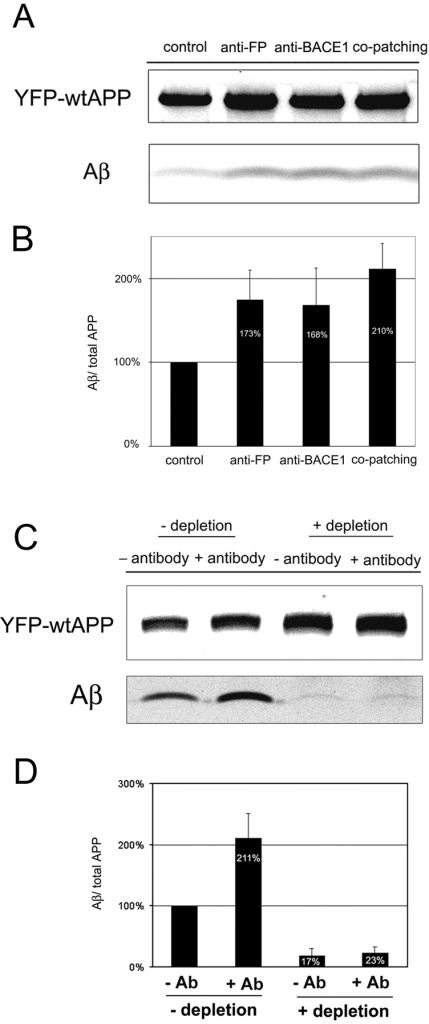 Effect of antibody cross-linking and cholesterol depletion on Aβ secretion. (A) Cells were infected with adenoviruses to express YFP-wtAPP and BACE1-VSVG, metabolically labeled for 40 min with [35S]methionine, and chased for 2 h in the presence of the indicated antibodies. YFP-wtAPP was cross-linked with anti-FP antibody KG77, and BACE1 was cross-linked with antibody 7523. (B) Quantification of the two independent experiments of A. The ratio was arbitrarily set to 100% in cells not cross-linked with antibodies. Secreted Aβ was normalized to the total amount of APP found in the cell lysate. (C) Aβ secreted from cross-linked/cholesterol-depleted cells. N2a cells were grown in the presence (+depletion) or absence (−depletion) of lovastatin/mevalonate/lipid-deficient FCS. 10 h after infection with adenoviruses to express YFP-wtAPP, the cells were treated for 5 min with 10 mM MβCD, labeled for 40 min with [35S]methionine, and chased for 2 h in the presence (+Ab) or absence (−Ab) of anti-FP antibody KG77. (D) Quantification of five independent experiments. The amount of secreted Aβ was normalized to the total amount of APP present in the cell lysate. The ratio was arbitrarily set to 100% in cells neither cross-linked nor cholesterol depleted.