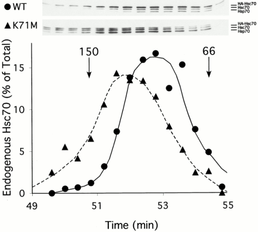 Overexpression of hsc70K71M causes endogenous hsc70 to migrate as a complex. Size exclusion chromatography was employed to monitor the potential oligomerization of endogenous hsc70. The independent migration of alcohol dehydrogenase (150 kD) and BSA (66 kD) are shown as markers. Western blotting with 3C5 revealed the migration of endogenous hsc70, hsp70, and the HA-tagged adenovirally expressed mutant and wild-type hsc70 and was quantified through densitometric scanning. WT, wild type.