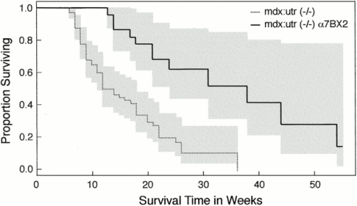Kaplan-Meier survival curves of 43 α7BX2-mdx/utr−/− and 84 mdx/utr−/− mice. Wilcoxon and log-rank tests show that the α7BX2-mdx/utr−/− and mdx/utr−/− mice populations have distinct survival curves (P < 0.001). The α7BX2-mdx/utr−/− mice survive threefold longer than nontransgenic mdx/utr−/− mice with a median life expectancy of 38 wk. In contrast, nontransgenic mdx/utr−/− mice have a median life expectancy of 12 wk (95% confidence intervals are indicated by shading).