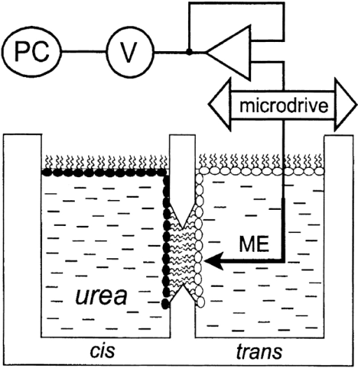 Schematic diagram of apparatus used to measure osmotically induced water transport. The sodium concentration in the vicinity of planar lipid membranes was monitored using the microelectrode technique. The membranes were formed by the apposition of two differently composed monolayers within the aperture (diam 150–250 μm) in a polytetrafluorethylene septum. The microelectrode (ME) was driven to the membrane with the help of a microdrive. The signal was amplified, digitized, and transferred to a personal computer.