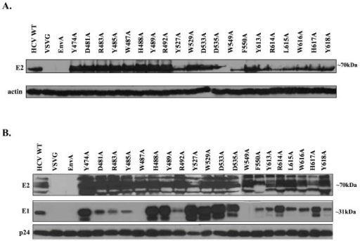 Expression and incorporation of HCV E1E2 glycoproteins in producer cell lysate and HCVpp. (A) 293T HCVpp producer cells were lysed and analyzed by Western Blot analysis using anti (α)-E2 and (α)-actin antibodies. Image is a composite. (B) Incorporation of HCV glycoproteins into HCVpp was determined by pelleting the virus through a 20% sucrose cushion followed by Western Blot analysis. HCV glycoproteins were identified with (α)-E2 and (α)-E1 antibodies. Detection of the HIV p24 capsid protein with an anti-HIV p24 antibody was performed as a loading control. Image is a composite.