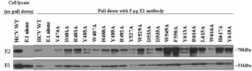 Determining association of E1E2 mutants. 293T cells were transfected with HCV E1E2 wt, mutant, or E1 alone glycoprotein expression plasmids. Cells were lysed and cleared cell lysate was incubated with anti (α)-E2 antibody. Immune complexes were separated by SDS-PAGE and analyzed by Western Blot for E1 to determine if the E2 and E1 glycoproteins had formed dimers. Image is a composite.