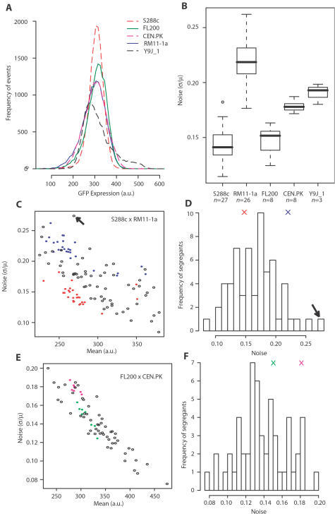 Strain-to-strain variation and complex genetic segregation of noise.A) Five representative flow-cytometry experiments on strains GY51, GY43, GY44, GY53 and GY445 derived from S288c, FL200, CEN.PK, RM11-1a and Y9J_1 respectively, each showing the distribution of PMET17-GFP expression levels in 15,000 individual cells (events) after two hours of moderate induction. Raw fluorescent values were corrected for cell size and granularity as described in Materials and Methods. Mean expression levels were similar between strains, while variances differed. B) Boxplot representation of flow-cytometry experiments repeated n times in the same conditions as in A), showing reproducible noise differences between genetic backgrounds. C–D) Genetic segregation of PMET17-GFP noise in a cross between S288c and RM11-1a backgrounds. Colored dots in C) represent independent flow-cytometry experiments performed on strain GY51 (red) or strain GY53 (blue). Each open circle represents the average values of three experiments performed on one S288c×RM11-1a segregant. The distribution of noise values in these segregants is shown in D), with the average noise of GY51 and GY53 represented as red and blue crosses, respectively. The arrow points to segregant GY157 displaying extremely high noise. E–F) Genetic segregation of PMET17-GFP noise in a cross between FL200 and CEN.PK backgrounds. Representation is similar as in C) and D), with repeated experiments on strain GY43 and GY44 shown in green and magenta, respectively. One flow-cytometry experiment was performed on each segregant obtained by crossing GY43 and GY44 (open circles). All segregants analyzed possessed the ura3-52 mutation of GY44, and their differences must therefore result from allelic variations residing in other genes.