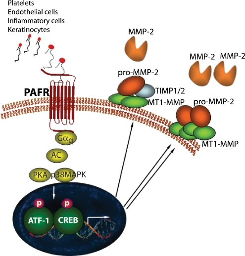 A model for the stimulation of MMP-2 and MT1-MMP by PAF via activation of CREB/ATF-1. We propose that melanoma cells, regardless of their metastatic potential, express PAFR and secrete basal levels of MMP-2 and MT1-MMP. However, within the melanoma tumor microenvironment, melanoma cells come into contact with platelets, endothelial cells, and inflammatory cells that secrete PAF. PAF, through the activity of its receptor on tumor cells and a signaling cascade involving pertussis-toxin-insensitive Gαq protein, adenylate cyclase, p38 MAPK and PKA, phosphorylates CREB and ATF-1. Activation of this and possibly other signaling mechanisms results in overexpression and secretion of MMP-2 and MT1-MMP. However, since only metastatic melanoma cells overexpress CREB and ATF-1, they are better equipped to respond to the stimulatory effect of PAF within the tumor microenvironment
