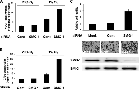 SMG-1 negatively regulated the secretion of VEGF and CA-9, as well as the migratory potential of hypoxic tumor cells. A and B, HeLa cells were transfected with SMG-1 or control (Cont) siRNAs. After 48 h, the cells were incubated in 20% oxygen or 1% oxygen at 37 °C overnight. VEGF or CA9 protein in cell culture supernatants was measured using immunoassay kits from Pierce or R&D Systems, respectively, and the resultant data were normalized by cell number determined by MTT. The normalized VEGF or CA9 concentration of control cells under 20% oxygen was taken as 1. C, SKOV-3 cells were mock transfected (Mock) or transfected with control siRNA (Cont) or SMG-1 siRNA (SMG-1). 48 h post transfection, the migratory capacity of the cells in hypoxia was analyzed, and the relative rate of cell migration in these cells was normalized to mock transfected cells whose value was taken as 1.