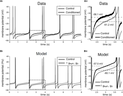 Electrophysiological effects of conditioning in the biological and model CGCs. (A) Effects of conditioning in the biological CGCs. Recordings from CGCs in animals trained using a single-trial classical appetitive conditioning protocol do not show any significant differences in the frequency of the spontaneous firing activity of the cell, when compared to recordings from cells in non-conditioned animals (Example traces shown in Ai, also see Kemenes et al., 2006). However, the membrane potential of CGCs from conditioned animals (measured midway between consecutive spikes and averaged for the whole trace shown) was depolarized, when compared to CGC recordings from non-conditioned control animals (section of Ai in dashed rectangle shown in Aii). (B) Effects of conditioning in the model CGCs. Conditioning in the model was simulated by a balanced increase in gNaP and gD, the maximal conductances of the persistent sodium and delayed rectifier potassium currents respectively. For example, when gNaP was increased by 50%, increasing gD by approximately the same proportion stabilized the spontaneous firing frequency in the model cell at the value it had before increasing the two conductances, i.e., ∼0.7 Hz (Bi). A closer inspection of the model CGCs revealed that the membrane potential after the increase was depolarized by 3.1 mV (section of Bi in dashed rectangle shown in Bii). This increase is comparable to the values measured from the biological cells after conditioning (example in Aii).