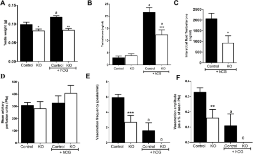 Testicular response to hCG exposure in SMARKO mice.A. Testis weight increased significantly in SMAR control, but not in SMARKO 16 hours after hCG treatment, presumably reflecting alterations in interstitial fluid volume. B. Serum testosterone concentrations increased significantly in both SMARKO and control adult males after exposure to hCG, but this increase was larger in controls than in KOs. C. Interstitial fluid testosterone concentrations were significantly higher in control testes than in SMARKOs at d100 after exposure to hCG. D. Average blood flow (Pfu) through adult SMARKO and control testes 16 hours after exposure to hCG. E. Average vasomotion frequency in adult SMARKO and control testes 16 hours after exposure to hCG. F. Average vasomotion amplitude in adult SMARKO and control testes 16 hours after exposure to hCG. Note that vasomotion frequency and amplitude were only measured in the two hcg-treated controls testes in which vasomotion could still be detected. Values are mean ± SEM (n = 5–7 mice), * p<0.05, ** p<0.01, *** p<0.001, compared to control littermates. a p<0.01, compared to untreated mice.