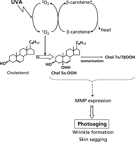 Proposed relationship between dietary β-carotene and peroxidation of cholesterol in ultraviolet-A (UVA)-induced skin photoaging.1O2: O2 (1Δg), Chol 5α-OOH: Cholesterol 5α-hydroperoxide, Chol 7α/β-OOH: 7α/β-hydroperoxide, MMP: matrix metalloproteinase.