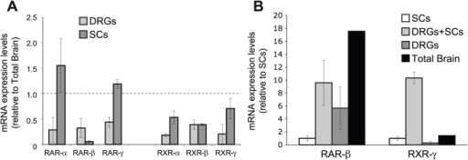 RXR-γ expression is increased in DRGN/SC cocultures.(A) The mRNA levels of all six RARs and RXRs were analyzed by Q-RT-PCR. The results are shown as the mean value ± SD relative to the levels found in whole adult rat brain (dashed line). (B) The mRNA levels of RAR-β and RXR-γ were analyzed by Q-RT-PCR in isolated SCs or myelination-competent DRGN/SC cocultures and compared to isolated DRG neurons and total adult rat brain. The results are shown as the mean value ± SEM relative to the levels found in isolated SCs.