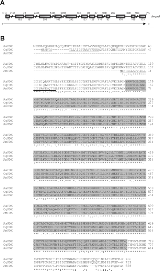 Peroxidase: gene structure and alignment of insect peroxidase proteins.(A) Schematic representation of the peroxidase gene from A. mellifera. Initiation and termination codons are indicated, as well as exons (boxes) and introns (lines). The number of nucleotides is shown, and the direction of transcription is indicated by an arrow. (B) Alignment (ClustalW 2) of peroxidase sequences from A. mellifera (AmPXD, ADE45321.2), Culex quinquefasciatus (CqPXD, EDS26535.1) and Aedes aegypti (AaPXD, EAT46477.1). The signal peptide region was underlined in the A. mellifera and C. quinquefasciatus sequences. The region containing the Animal haem peroxidase domain (pfam03098) is marked in grey. Asterisks, colons and dots represent identical amino acid residues, strong- and weak-conservative substitutions, respectively.