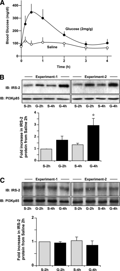 Specific glucose-induced regulation of IRS-2 expression in pancreatic islets, but not in hepatocytes in vivo. Normal C57Blk6/6J mice (aged 12 weeks) were fasted overnight and then subjected to an intraperitoneal glucose tolerance test (2 mg/g body wt) or using saline as a control as described (42). Pancreatic islets were isolated, and a liver biopsy was conducted at the 2- and 4-h time point and then subjected to immunoblot (IB) analysis for IRS-2 protein expression relative to PI3K(p85) as a loading control. A: Excursion in circulating glucose in the mice after a glucose (●) or saline (○) injection. A mean ± SE is shown (n ≥ 3). B and C: Example IB analyses of IRS-2 and PI3K(p85) in islets (B) and liver (C) from saline (S)- or glucose (G)-treated mice at 2 or 4 h are shown from two separate experiments. A quantification of a series of experiments is also depicted, where gray bars are S- and black bars are G-treated animals. Data are a mean ± SE (n = 3), where * indicates statistically significant difference (P ≤ 0.05) from the equivalent saline control.