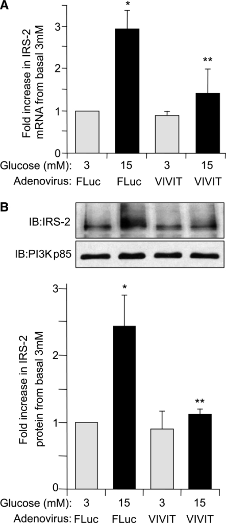 Glucose regulation of IRS-2 expression in β-cells is decreased when NFAT is specifically inhibited. Isolated rat pancreatic islets were infected with a recombinant adenovirus expressing a specific peptide inhibitor of NFAT, AdV-VIVIT, or with AdV-FLuc and cultured overnight at normal 5.6 mmol/L glucose. Afterward, the adenovirally infected islets were then incubated at either basal 3 mmol/L or stimulatory 15 mmol/L glucose concentration for 6 h. A: IRS-2 and β-actin (internal reference control) mRNA expression levels were measured by real-time fluorescence-based quantitative RT-PCR. B: IRS-2 and PI3K(p85) (control) protein expression levels were analyzed by immunoblotting, where an example immunoblot (IB) and quantitative measurements are shown. The data are shown as a mean ± SE above basal 3 mmol/L glucose control, where * indicates a statistically significant increase at 15 mmol/L glucose above basal 3 mmol/L glucose and ** indicates statistically significant decrease at 15 mmol/L glucose in AdV-VIVIT–infected versus AdV-FLuc–infected control islets (P ≤ 0.05; n ≥ 4) (A and B).