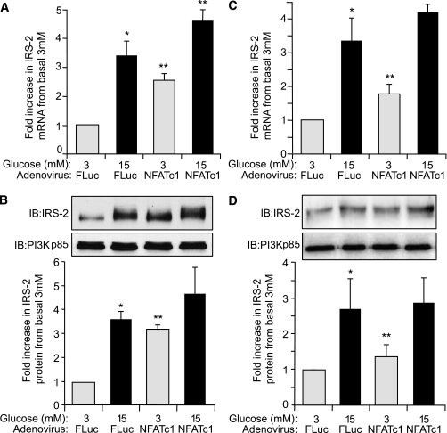 Glucose regulation of IRS-2 expression in β-cells is enhanced by increased expression of NFATc1. INS-1 β-cells (A and C) or isolated rat pancreatic islets (B and D) were infected with AdV-NFATc1 or with AdV-FLuc and cultured overnight at normal 5.6 mmol/L glucose. Afterward, the adenovirally infected INS-1 β-cells or islets were then incubated at either basal 3 mmol/L or stimulatory 15 mmol/L glucose concentration for 6 h. A and C: IRS-2 and β-actin (internal reference control) mRNA expression levels were measured by real-time fluorescence-based quantitative RT-PCR. The data are shown as a mean ± SE, where * indicates a statistically significant increase at 15 mmol/L glucose above basal 3 mmol/L glucose and ** indicates a significant increase in AdV-NFATc1–infected islets versus AdV-FLuc–infected control islets at respective glucose concentrations (P ≤ 0.05; n ≥ 4). B and D: IRS-2 and PI3K(p85) (control) protein expression levels were analyzed by immunoblotting, where example immunoblots (IBs) are shown. Quantified data are also shown as a mean ± SE, where * indicates a statistically significant increase at 15 mmol/L glucose above basal 3 mmol/L glucose and ** indicates a significant increase in AdV-NFATc1–infected islets versus AdV-FLuc–infected control islets at basal 3 mmol/L glucose (P ≤ 0.05; n ≥ 4).