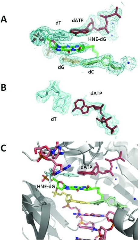 Structure of the ternaryHNE-dGuo modified template-primer II complexwith the S. solfataricus P2 DNA polymerase Dpo4 andincoming dATP. (A) Electron density at the active site. (B) Watson–Crickbase pair between the 5′-template neighbor T and incoming dATP.(C) Active site with the modified template:primer and the dATP alongwith the polymerase. The Dpo4 polymerase is colored gray and shownin cartoon form. All electron densities are from (2Fo – Fc) maps at the1σ level. The HNE alkyl chain is disordered, resulting in someuncertainty in its position.