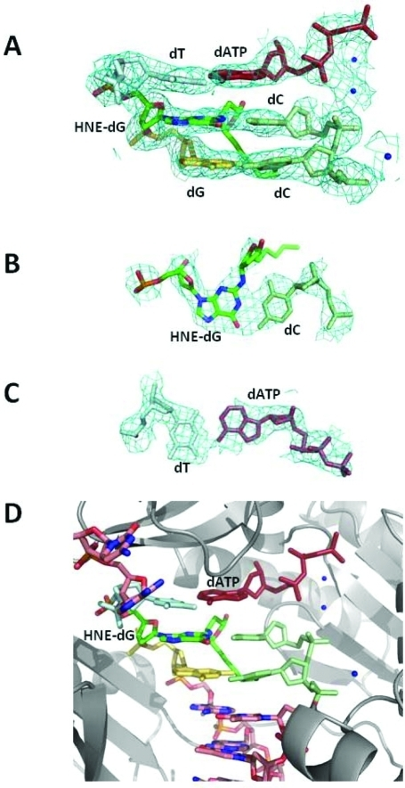 Structure ofthe ternary HNE-dGuo-modified template-primer IV complexwith the S. solfataricus P2 DNA polymerase Dpo4 andincoming dATP. (A) Electron density at the active site. (B) Watson–Crickbase pair between HNE-dGuo and 3′-primer terminus dCyd. (C)Watson–Crick base pair between the 5′-template neighborT and the incoming dATP. (D) Active site with the modified template:primerand the dATP along with the polymerase. The Dpo4 polymerase is coloredgray and shown in cartoon form. All electron densities are from (2Fo – Fc) mapsat the 1σ level.