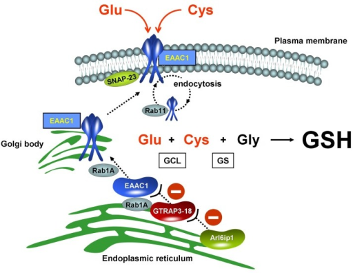 EAAC1/GTRAP3-18-mediated GSH synthesis in neurons. GSH is produced from three amino acids, i.e., glutamate (Glu), cysteine (Cys), and glycine (Gly) by reactions with two enzymes, γ-glutamylcysteine ligase (GCL) and GSH synthase (GS). Translocated to the plasma membrane, EAAC1 transports glutamate and cysteine into the neuron to increase GSH synthesis. Glutamate transporters, as the functioning forms, are present predominantly as trimers on the plasma membrane. SNAP-23 facilitates EAAC1 expression on the plasma membrane. EAAC1 is subject to internalization into early endosome and is recycled back to the plasma membrane in a Rab11-dependent manner. Rab1A regulates multiple membrane trafficking pathways. GTRAP3-18, a protein in the endoplasmic reticulum (ER), binds to Rab1A to interfere with the ER-Golgi transport of EAAC1. Moreover, GTRAP3-18 directly interacts with EAAC1 and retains EAAC1 at the ER to inhibit neuronal GSH synthesis. Arl6ip1 is a GTRAP3-18 interacting protein leading to decrease in GTRAP3-18/EAAC1 interaction. Arl6ip1 positively modulates EAAC1-mediated glutamate transport.