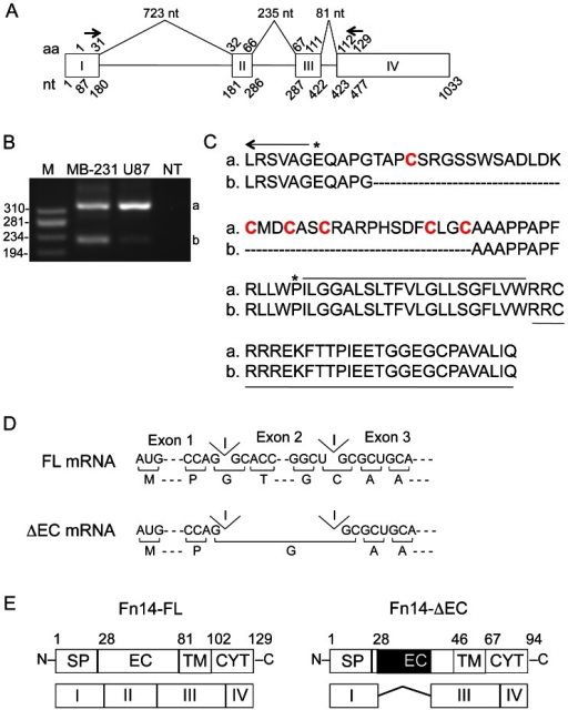 Cloning of a human Fn14 mRNA predicted to encode an Fn14 protein missing most of the extracellular domain.(A) Schematic representation of human Fn14 gene organization (via UCSC Genome Browser). The four Fn14 exons are numbered and boxed and the intron sizes are indicated in nucleotides (nt) at the top. The Fn14 amino acid (aa) numbers (1–129) and mature mRNA nucleotide (nt) numbers (1–1033) are provided above or below each exon, respectively. The positions of the two oligonucleotide primers used for RT-PCR analysis are indicated with arrows. (B) RNA was isolated from MDA-MB-231 and U87 cells and RT-PCR was performed using an exon 1 sense primer and an exon 4 antisense primer. PCR was also performed with this primer pair in the absence of cDNA (NT, no template). Amplification products were separated by agarose gel electrophoresis and visualized by ethidium bromide staining. The positions of DNA size markers (M) are shown on the left (in base pairs). The two PCR products that were isolated and sequenced are indicated on the right as a and b. (C) Predicted amino acid sequence of PCR amplification products a and b. The last six amino acids of the signal peptide are indicated with an arrow, the Fn14 extracellular domain is bracketed with asterisks and the six cysteine residues found in this domain are in red. The Fn14 transmembrane domain is overlined and the cytoplasmic tail is underlined. (D) The Fn14 mRNA translation initiation codon and selected codons surrounding Fn14 introns 1 and 2 are shown for the Fn14 full-length (Fn14-FL) and Fn14 extracellular domain deletion (Fn14-ΔEC) mRNAs. The predicted Fn14-FL and Fn14-ΔEC amino acid sequence is shown below the nucleotide sequence. Abbreviation: I, intron. (E) Schematic representation of the Fn14-FL and Fn14-ΔEC proteins showing structural domains in relation to their exon coding regions. Amino acid numbers corresponding to the beginning of each protein domain and the C-terminal amino acid are indicated at the top of each diagram. The region of the extracellular domain that is missing in Fn14-ΔEC is shown in black. Abbreviations: SP, signal peptide; EC, extracellular domain; TM, transmembrane domain; CYT, cytoplasmic tail.