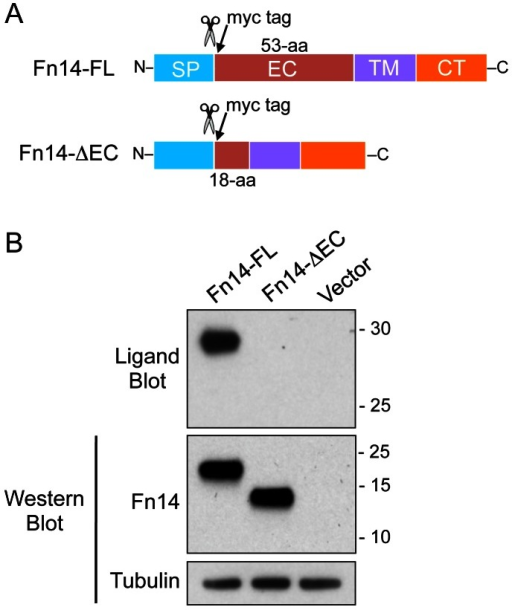 TWEAK cannot bind to the Fn14-ΔEC protein.(A) Schematic representation of the expression constructs encoding the Fn14-FL or Fn14-ΔEC protein. The Fn14 signal peptide (SP) region, extracellular (EC) domain, transmembrane (TM) domain, and cytoplasmic tail (CT) are indicated, the size of each EC domain is provided, and the positions of the signal peptide cleavage site (scissors) and the myc epitope tag are shown for both constructs. (B) HEK293 cells were transfected with vector or the indicated Fn14-myc expression plasmids. Cells were harvested 24 hr later, lysed, and equal amounts of protein were subjected to ligand blot analysis and Western blot analysis using either the anti-Fn14 #3600 antibody or an anti-tubulin antibody. The positions of molecular size markers are shown on the right (in kDa).
