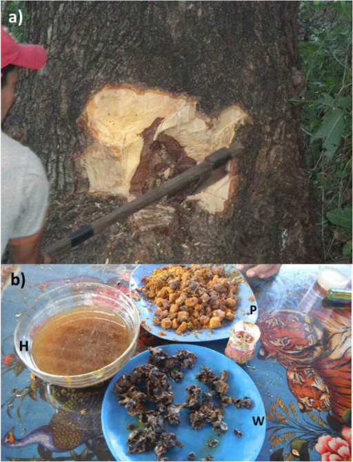 Local extractive practices for obtaining stingless bees' products. a) extraction with ax; looking for the nest; b) stingless Bees' products: honey (H), wax (W) and pollen – pasacuareta (P) Photographs: Alejandro Reyes-González.