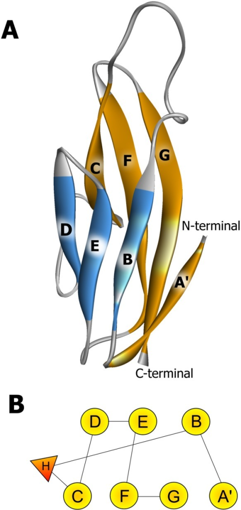 Structure and topology of wild-type and mutant zebrafish Ig-like domains belonging to the α-DG C-terminal region.The secondary structure elements (panel A) are named according to Harpaz and Chothia [46]. The β-strands are colored according to the sheet to which they belong and the N and C termini are indicated. The topology diagram of the domains is shown in panel B; β-strands are shown as circles and the small helix as a triangle.