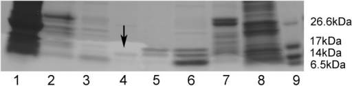 Recombinant expression of α-DG(485–630)I591D.The recombinant murine mutant α-DG(485–630)I591D as well as its wild-type counterpart were purified by affinity chromatography. The fractions collected after each purification step were run on the same SDS-PAGE: lane 1: total protein extract from E. coli cells expressing 6xHis-Trx-α-DG(485–630)I591D; lane 2: purified 6xHis-Trx-α-DG(485–630)I591D; lane 3: 6xHis-Trx-α-DG(485–630)I591D upon thrombin cleavage; lane 4: purified α-DG(485–630)I591D (arrow); lane 5: purified wild-type α-DG(485–630); lane 6: 6xHis-Trx-α-DG(485–630) upon thrombin cleavage; lane 7: purified 6xHis-Trx-α-DG(485–630); lane 8: total protein extract from E. coli cells expressing wild-type 6xHis-Trx-α-DG(485–630); lane 9: protein markers.