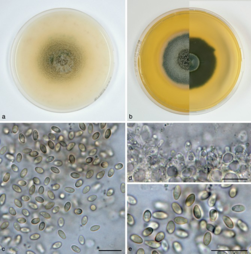 Paraconiothyrium viridescens (CBS 854.73T, ex-type culture). a. Colony on OA; b. colony on MEA, also showing reverse on the right; c. conidia on OA; d. conidiogenous cells on OA; e. conidia on OA. — Scale bars = 10 μm.