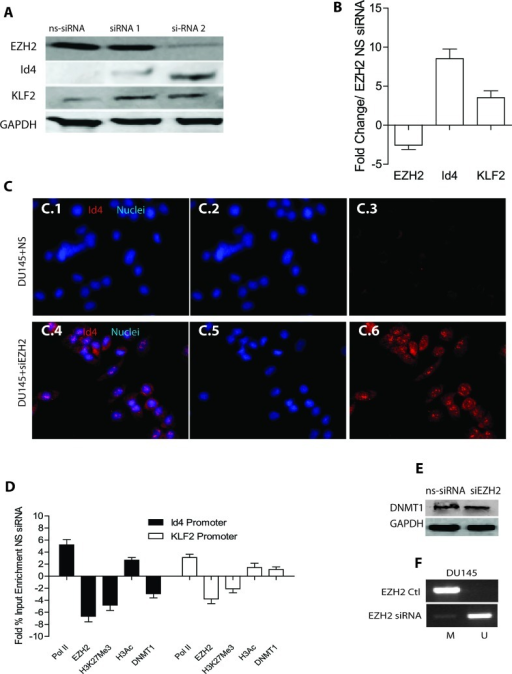 "Effect of EZH2 silencing on ID4 expressionA: Two different siRNAs (siRNA1 and siRNA2) were used to transiently knock down EZH2 in DU145 cells followed by western blot analysis of EZH2, ID4 and KLF2 (used as a positive control for EZH2 dependent down-regulated gene). Increase in ID4 expression with greater EZH2 knock down was observed with siRNA2 that was used for all subsequent studies. Representative western blot is shown. B: Real time quantitative RT-PCR analysis of corresponding gene expression following EZH2 knockdown by siRNA2. The data is expressed (mean+SEM, n=3 in triplicate) as fold change compared to non-specific siRNA. C: Immuno-cytochemical analysis of ID4 expression following siRNA2 mediated knockdown of EZH2 in DU145 cells (x200 magnification). ID4 expression is in red and the nuclei in Blue (DAPI). C.1 and C.4 are merged images of Blue (Nuclei, C.2 and C.5) and Red (ID4, C.3 and C.6). C.1, C.2 and C.3 are DU145 cells transfected with non-specific siRNA (DU145+NS). Panels C.4, C.5 and C.6 are DU145 cells transfected with EZH2 siRNA (DU145+siEZH2). Representative images are shown. D: Enrichment of EZH2, H3K27me3, H3Ac and DNMT1 on ID4 and KLF2 promoters following EZH2 knockdown in DU145 cells. The data is expressed (mean+SEM, n=3 in triplicate) fold change of % input as compared to DU145 cells transfected with non-specific EZH2 siRNA. E: Western blot analysis of DNMT1 expression in DU145 cells with non-silencing siRNA or with EZH2 si-RNA2 (siEZH2). Representative of 3 blots is shown. F: Methylation specific PCR (MSP) on ID4 promoter following knockdown of EZH2 in DU145 cells. A band in ""M"" lane represents methylation of ID4 promoter where as a band in ""U"" lane represents un-methylated promoter. Representative results are shown."