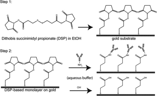 Method for Covalent Coupling of Capture Antibody Layer in ImmunoassayUsing an NHS Terminated Monolayer and Primary Amines in AntibodiesStep 1 forms the NHS-terminatedmonolayer on gold by chemisorption of DSP. Step 2 reacts the NHS-terminatedmonolayer on gold with an antibody in aqueous buffer (aminolysis);the competing reaction with hydroxide ions (hydrolysis) is shown inparallel.