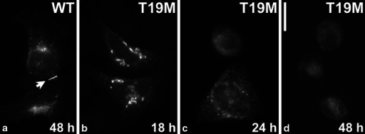 T19M is inefficient at forming gap junction plaques. Photomicrographs show the distribution of wild-type rat Cx46 (a) and T19M (b–d) at the indicated times following transient transfection of HeLa cells. Bar 30 μM