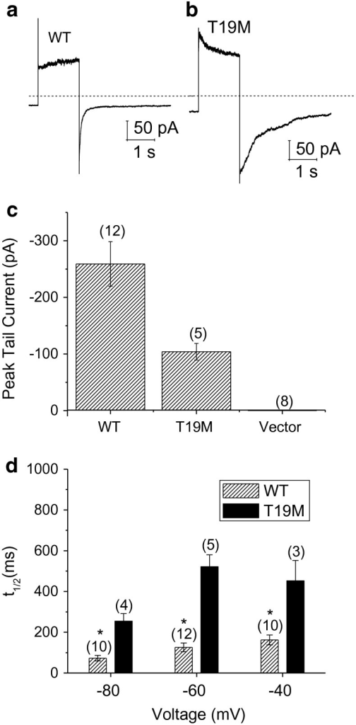 T19M hemi-channels show alterations in voltage gating. Ensemble averaged current traces recorded from cells expressing wild-type rat Cx46 (a) or T19M (b) in response to a 2-s voltage clamp step to 80 mV followed by a hyperpolarizing step to −60 mV. The holding potential was −60 mV. Dashed line indicates zero current level. c Averaged peak tail currents at −60 mV. The number of cells tested is indicated within parentheses. dBar graph summarizes the t1/2's of deactivation of peak tail currents for wild-type rat Cx46 (hatched bars) and T19M (black bars) at −80, −60, and −40 mV. Data are graphed as mean ± SEM. *p < 0.01 (Student's t test or Mann–Whitney rank sum test compared with T19M-transfected cells). The number of cells analyzed is indicated within parentheses