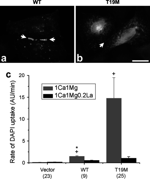 Effects of T19M mutation on human Cx46. Photomicrographs showing the distribution of human wild-type Cx46 (a) and T19M (b) in transfected HeLa cells. Bar 30 µm. cBar graph summarizes the DAPI uptake data for vector alone, human wild-type Cx46 and T19M obtained in transfected HeLa cells when exposed to extracellular solutions containing 1 mM Ca2+, 1 mM Mg2+ (gray bars) or 1 mM Ca2+, 1 mM Mg2+, 0.2 mM La3+ (black bars). Data are graphed as mean ± SEM. *p < 0.004 (Mann–Whitney rank sum test compared with T19M-transfected cells in the same external solution); +p < 0.001 (Mann–Whitney rank sum test compared with vector-transfected cells). The number of cells analyzed is indicated within parentheses