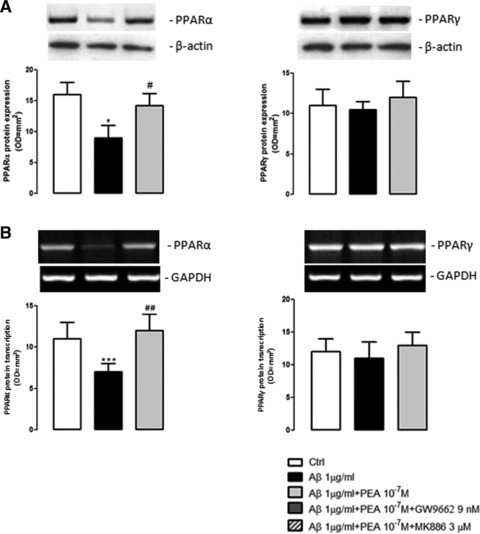 PEA effect on PPARs transcription and expression. PPAR-α and PPAR-γ transcription and expression were evaluated in primary astrocytes after 24 hrs of exposure to Aβ (1 μg/ml), in the presence or absence of PEA (10−7 M). (A) Results of PPAR-α and PPAR-γ Western blot analysis and densitometric analysis of corresponding bands. β-actin was used as loading control. (B) Results of PPAR-α and PPAR-γ RT-PCR amplification and densitometric analysis of corresponding bands. GAPDH was used as standard control. Each bar shows the mean ± S.E.M. of n = 4 separate experiments. ***P < 0.001 and *P < 0.05 versus control; ##P < 0.01 and #P < 0.05 versus Aβ-challenged cells.