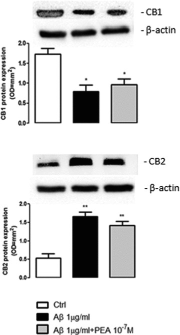 PEA effect on cannabinoid receptors expression. The expression of CB1 and CB2 receptors was evaluated in primary astrocytes after 24 hrs of exposure to Aβ (1 μg/ml), in the presence or absence of PEA (10−7 M). Figure shows the results of Western blot and densitometric analysis of corresponding bands. β-actin was used as loading control. Each bar shows the mean ± S.E.M. of n = 4 independent experiments. **P < 0.01 and *P < 0.05 versus control.