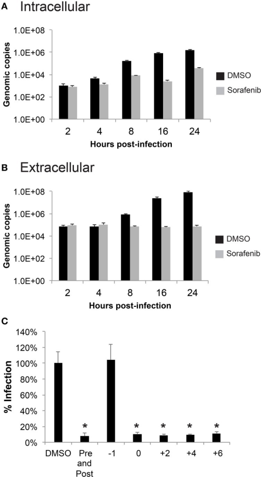 Sorafenib affects an early stage of infection. (A,B) HSAECs were pre-treated, infected and post-treated with either DMSO or sorafenib. Supernatants and lysates in RLT buffer were collected at the indicated times post-infection. RNA was extracted from all samples and a qRT-PCR was performed to determine viral genomic copies. The average and standard deviation of three biological replicates are plotted. (C) HSAECs were treated at various times relative to MP12 ΔNSs-Luc infection (1 h pre-treatment, at the end of 1 h infection, at 2, 4, 6 hpi, both pre-treated and post-treated). Lysates were collected at 24 hpi and analyzed for luciferase activity. Data is graphed in percentage RLU of the DMSO control. *p ≤ 0.01.