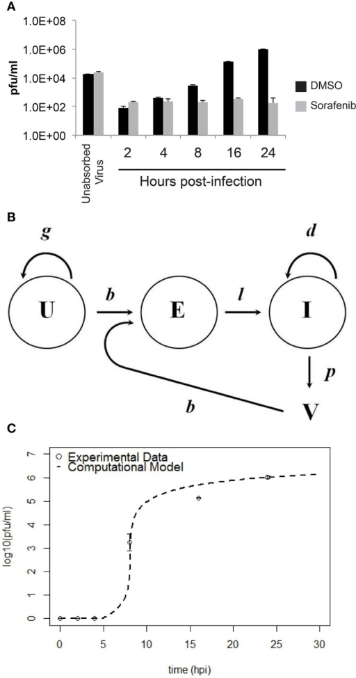 Comparison between experimental data and the computational model for HSAEC infection. (A) Virus in the culture supernatant (2–24 hpi) after the addition of sorafenib (gray bars) or DMSO-vehicle (black bars). Data are average pfu/ml ± standard deviations and each bar represents three biological replicates. (B) Schematic of the computational model showing uninfected HSAECs (U), early infected HSAECs (E), infected virus-producing HSAECs (I) and Virus particles (V) (see text for additional details). (C) Comparison between experimental data and model results. Open circles are the DMSO-vehicle data reproduced from (A) and the dashed line is pfu/ml data produced from the computational model using the parameter values summarized in Table 1.