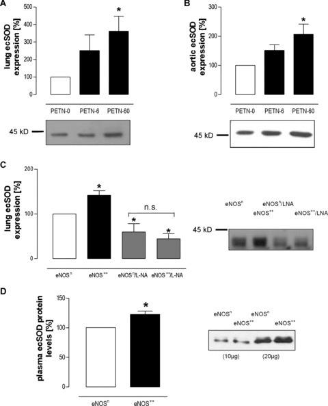 ecSOD protein expression. (A) Increased ecSOD protein expression in lung cytosolic fractions of C57Bl/6 mice treated with 0, 6 or 60 mg/kg/day PETN (PETN-0, PETN-6 or PETN-60, respectively, *=P < 0.05 for PETN-60 versus PETN-0). (B) Increased ecSOD protein expression in aortic homogenates of PETN-treated mice (*=P < 0.01 versus PETN-0). (C) Increased ecSOD protein expression in lung cytosols of eNOS++versus eNOSn mice (P < 0.05). Treatment with L-NA significantly lowered ecSOD expression in both groups (eNOSn/L-NA and eNOS++/L-NA; each *=P < 0.05 versus eNOSn) and blunted the difference between both groups (N.S. =P > 0.05). (D) ecSOD protein in blood plasma of eNOS++ mice was significantly increased compared with transgene-negative littermates (eNOSn, *=P < 0.01).